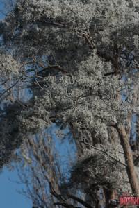 Липецк, ул. Ленина, дерево над Краеведческим музеем
