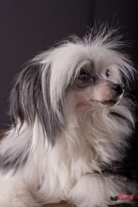 Фотопортрет китайской хохлатой собаки в студии