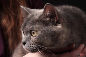 Леля - портрет в три четверти британской кошки, Липецк