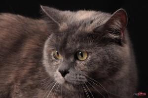 Серьезный взгляд кошки Лели, фото Липецка